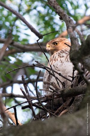 Red Tail Hawk 024