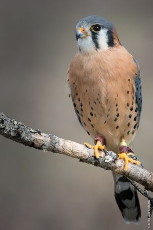 """Horace"" - Kestrel"