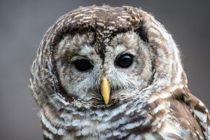 """Athena"" - Barred Owl"